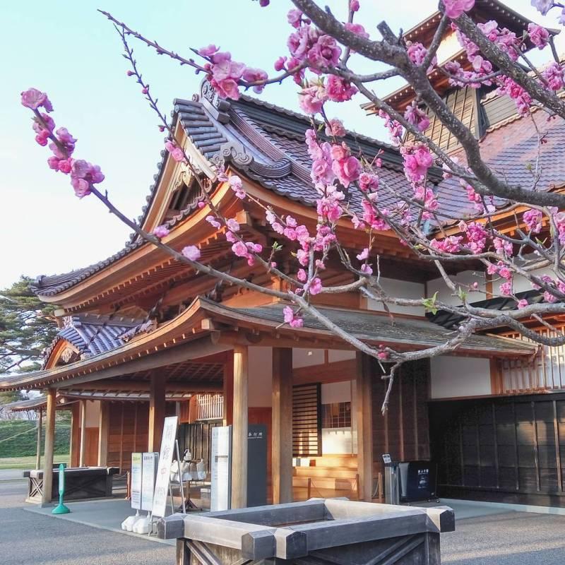 Mau melihat keindahan bunga sakura, datanglah ke Hakodate