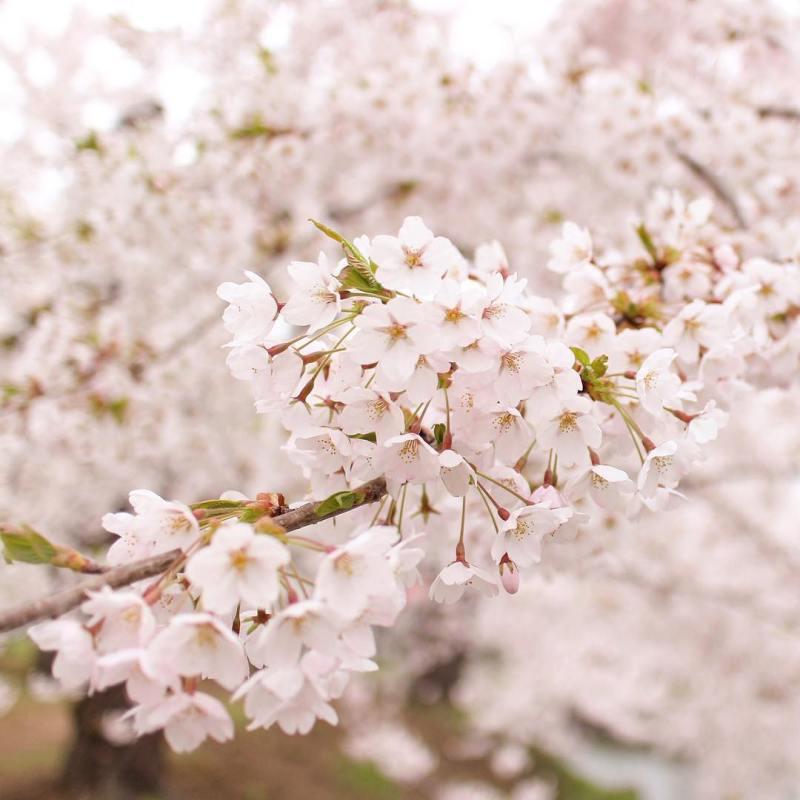 Siapa yang tak suka melihat bunga sakura?