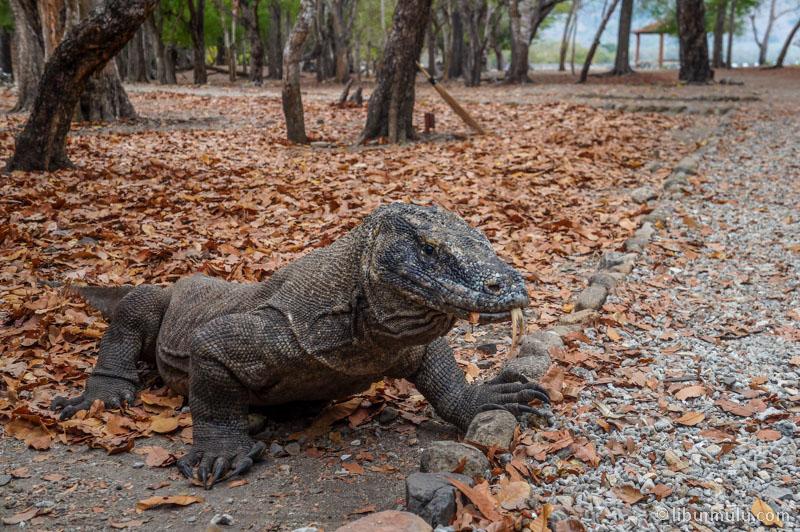 Di Pulau Komodo anda bisa bertemu mereka