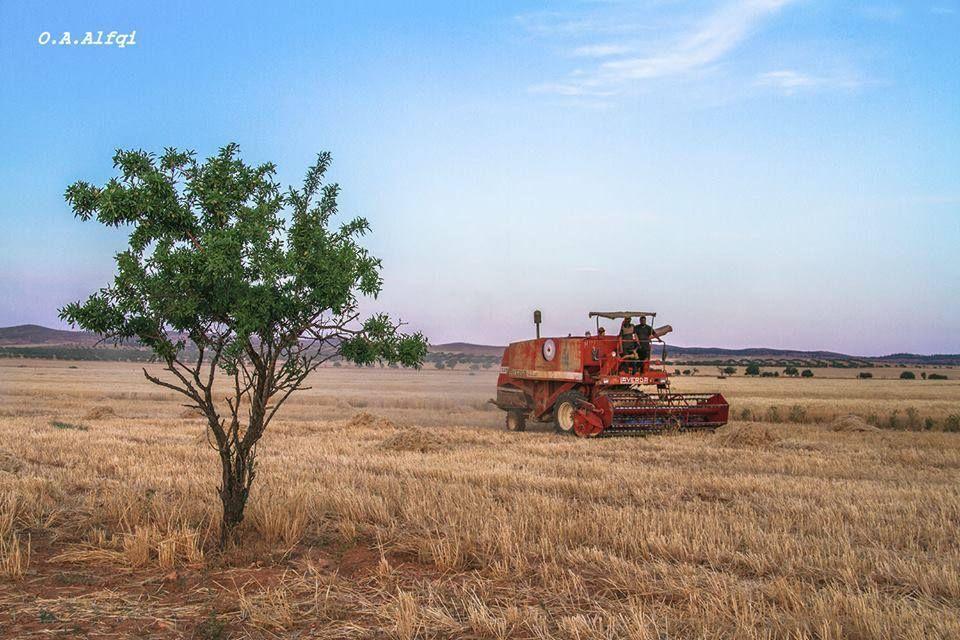 موسم الحصاد ( قطيس )