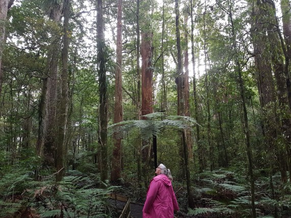 Kauri dieback in the background