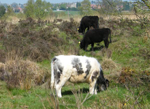 Cows grazing in Chasewater Country Park