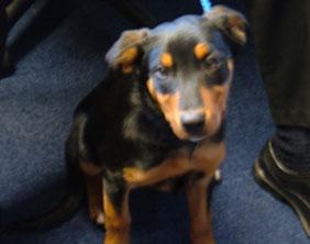 The rottweiler puppy found in Lichfield