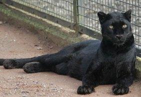 Zilla the black leopard