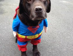 Moose the labrador in his superhero costume