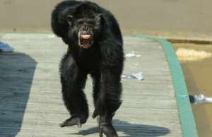 Drayton Manor primate