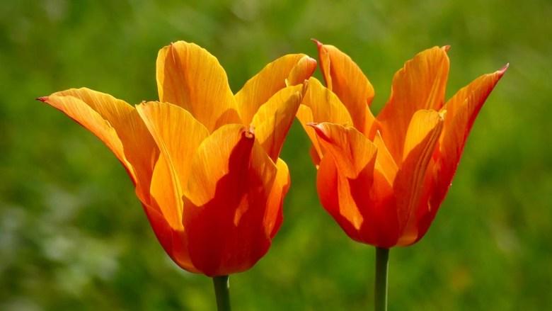 Tulips in the Sun - Liz Thomas