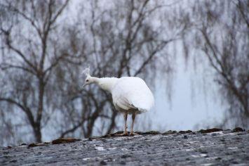 Weißer Pfau Vogel | Kamera