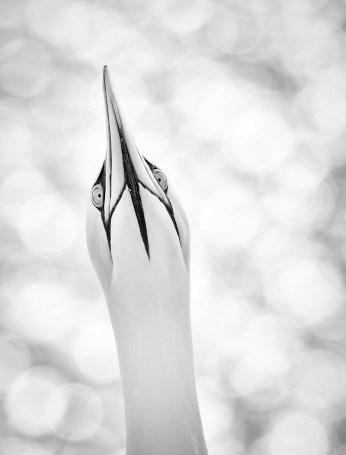 Sandra Reiss - highkey gannet