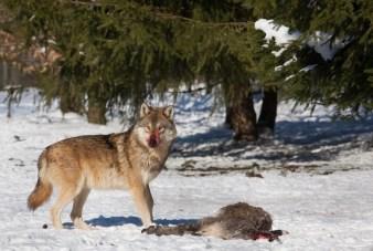 Wolf-28