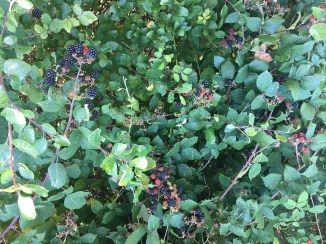 Blackberries growing wild in the hedgerows