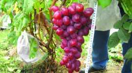 Особенности перезимовки и агротехники столовых сортов винограда в преддверии вегетации 2017 г