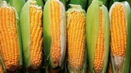 USDA вновь повысил прогноз мирового производства кукурузы в 2016/17 МГ