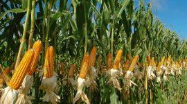 В 2016 году площади сева ГМ кукурузы в ЕС существенно возросли