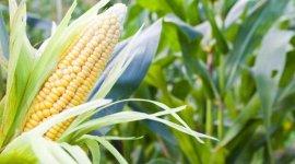 Реакция растений кукурузы на динамику колебаний метеофакторов в условиях Молдовы
