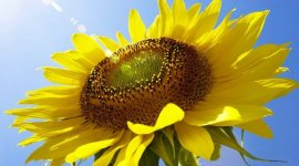 Урожай подсолнечника в странах СНГ сократится на 1,3 млн тонн