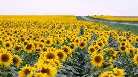 Урожай подсолнечника в ЕС в следующем сезоне сохранится на уровне текущего сезона