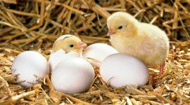 Птицеводов тревожит рост импорта