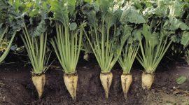 Влияние элементов технологии возделывания сахарной свеклы на содержание нитратов в почве и ее биологическую активность