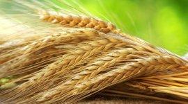 Particularitățile producerii semințelor la culturile cerealiere