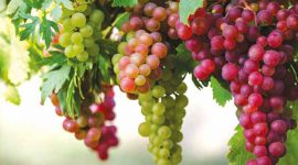 Новые винные сорта: агробиология, особенности агротехники, защиты и переработки