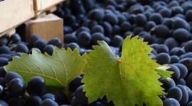 В 2017 г. урожай винограда будет на 1% больше, чем в 2016