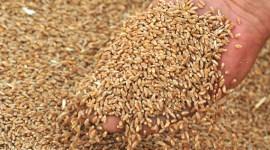 Урожай зерна в России достиг 117 миллионов тонн