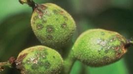 Бактериальные заболевания плодовых культур
