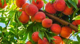Евросоюз активно сокращает импорт персиков и нектаринов