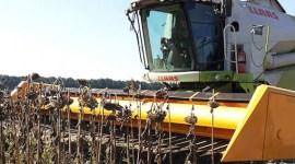 Урожай подсолнечника в странах СНГ сократится на 1,3 млн. тонн