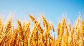 В Англии появилась ГМО-пшеница, отпугивающая вредителей запахом