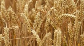 FAO: Молдова не войдет в региональный топ-10 экспортеров пшеницы в сезоне 2017/2018 г
