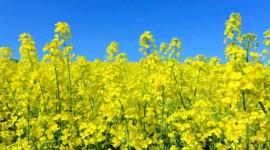 ЕС: оценка урожая рапса в 2017/18 сезоне вновь повышена