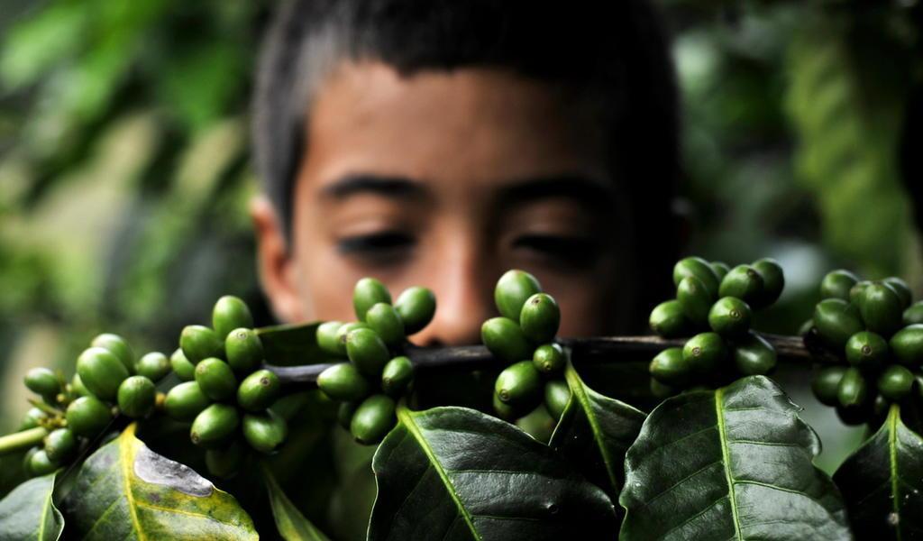 Defiende Guatemala a su café de desprestigio por presunto trabajo infantil