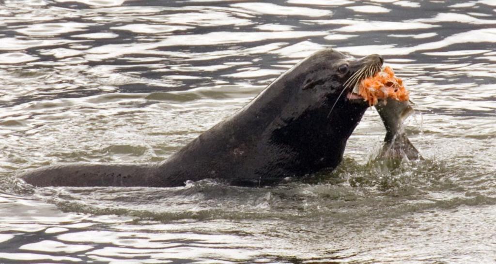 Estados Unidos permite matar leones marinos que se alimentan de salmón