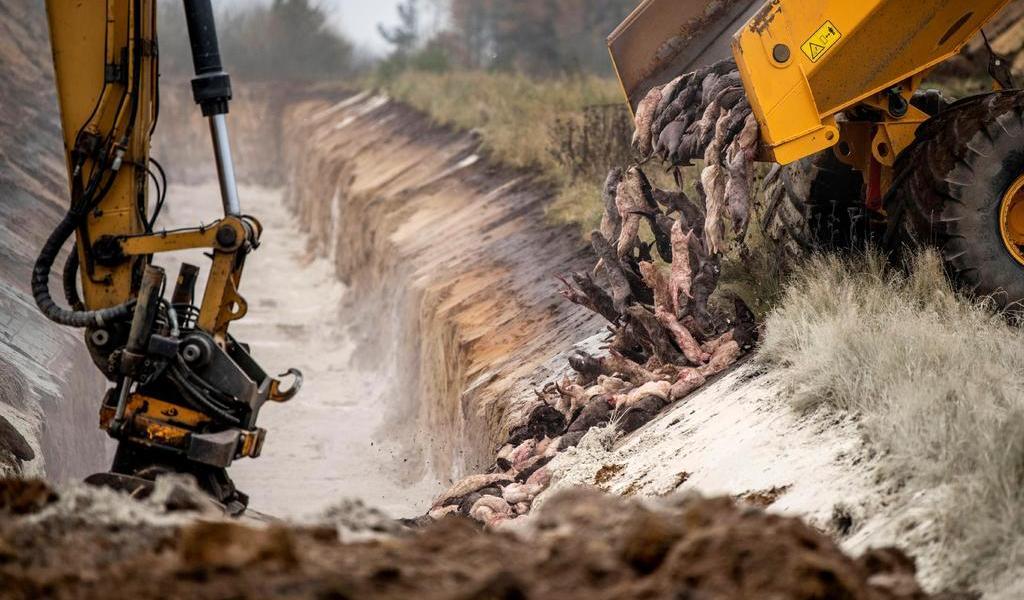 Parlamento danés aprueba sacrificar 15 millones de visones por COVID-19