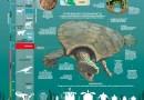 La tortuga más grande de la historia tenía cuernos