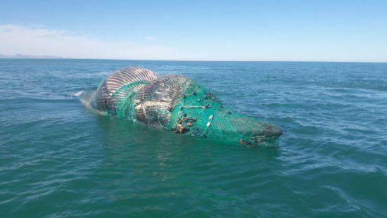Rescatan en BC a ballena atrapada en red de pesca