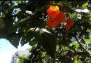 Buscan que flor de ciricote sea insignia de Quintana Roo