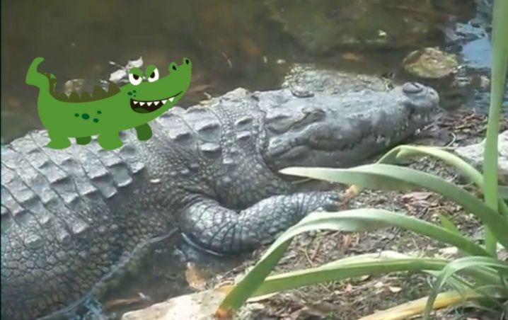 VIDEO: Cocodrilo escondido sorprende a familia de turistas y les da un buen susto en Cancún