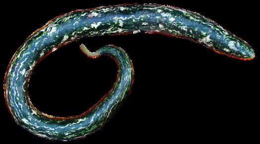 la courge serpent, patole, Trichosanthes cucumerina