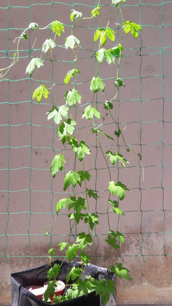 Cabaran Tanam Pokok Sayur 21
