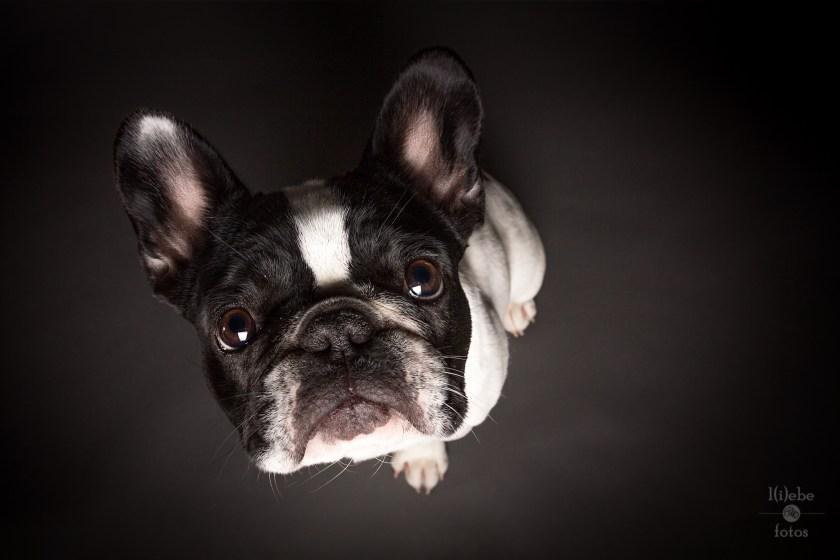 Frida - french Bulldog