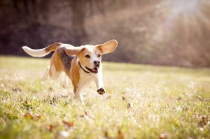 Milow (Beagle)
