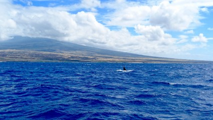 Whale Watching Kona Big Island