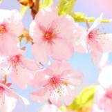 桜満開!クルクル桜クッキー