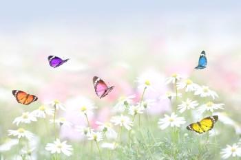 350 蝶々 イメージ