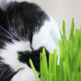 猫の嗜好品?肉食の猫ちゃんが猫草を食べる理由とオススメの猫草紹介