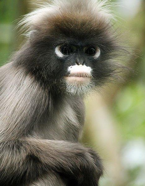 Langier lange staart, een apensoort Burgers zoo Arnhem