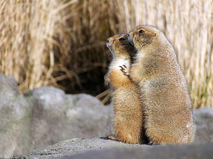 Knuffelende prairiehonden